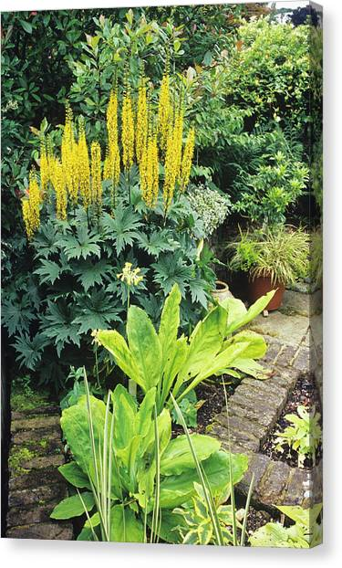Border Wall Canvas Print - Garden With Leopard Plant And Cowslip by Duncan Smith/science Photo Library