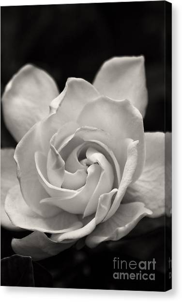 Gardenia Bloom In Sepia Canvas Print