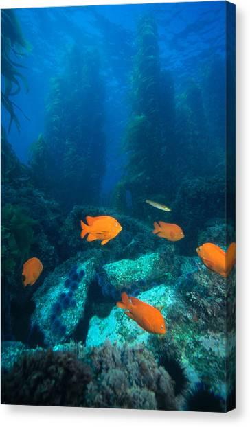 Kelp Forest Canvas Print - Garibaldis In Kelp Forest by Greg Ochocki
