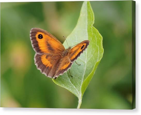 Gatekeeper Butterfly-02 Canvas Print