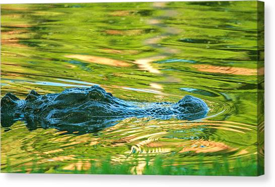Gator In Pond Canvas Print