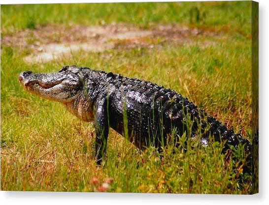 Gator Raid Canvas Print by Miles Stites
