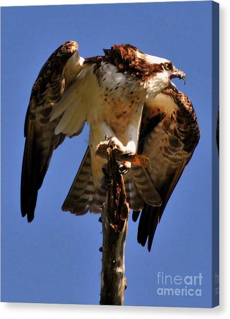 Osprey Canvas Print - Guarded by Quinn Sedam