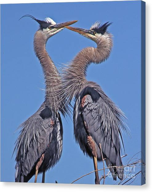 Great Blue Heron The Face Off Canvas Print