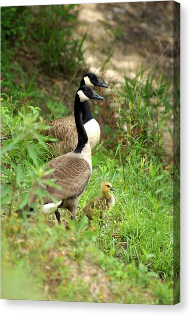 Geese And Gosling Canvas Print
