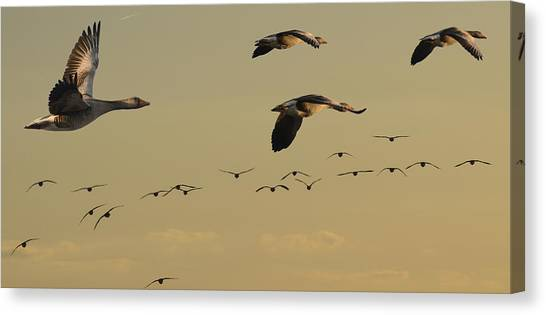 Geese Charter Canvas Print