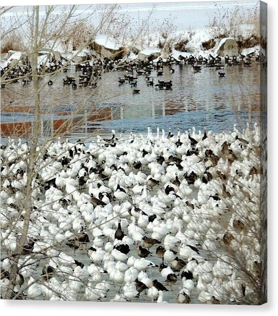 Foul Canvas Print - Geese Pond by Kelli Stowe