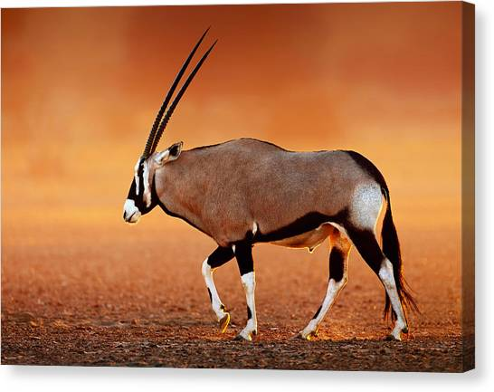Sundown Canvas Print - Gemsbok On Desert Plains At Sunset by Johan Swanepoel