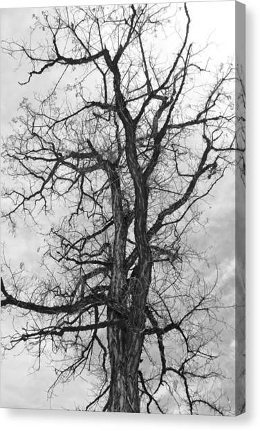 Genoa Tree Canvas Print