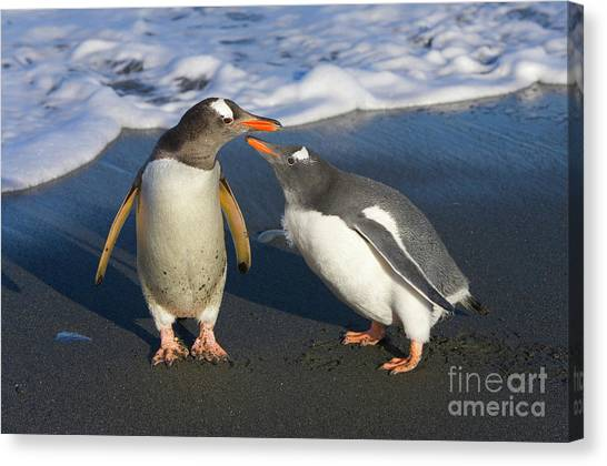 Submission Canvas Print - Gentoo Penguin Chick Begging For Food by Yva Momatiuk and John Eastcott