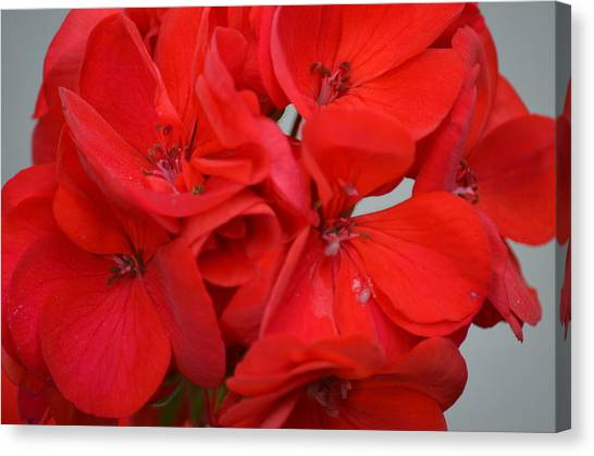Geranium Red Canvas Print