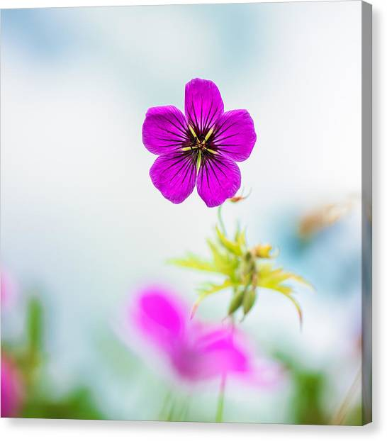 Geranium Summer Canvas Print