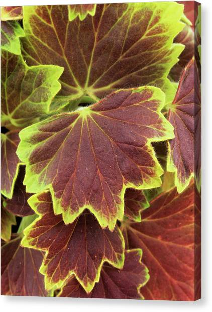 Centennial Canvas Print - Geranium 'vancouver Centennial' Leaves by Geoff Kidd/science Photo Library