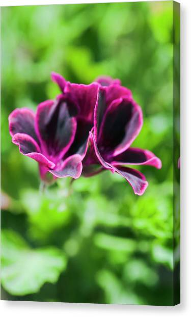 Geraniums (pelargonium Sp.) Canvas Print by Gustoimages/science Photo Library