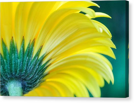 Canvas Print featuring the photograph Gerber Daisy by Garvin Hunter