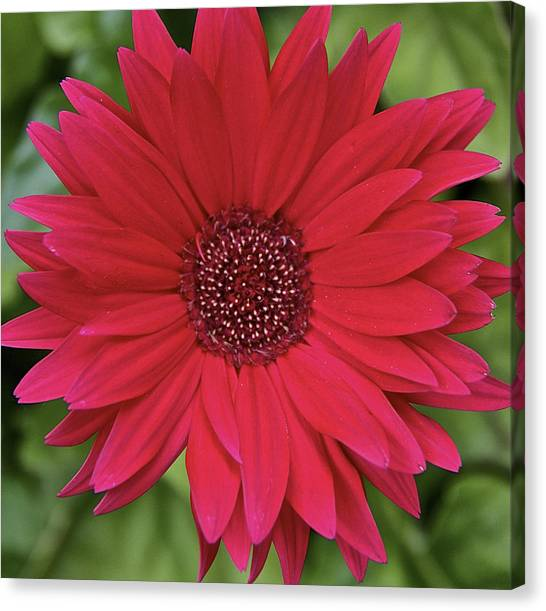Gerber Daisy In Red Canvas Print