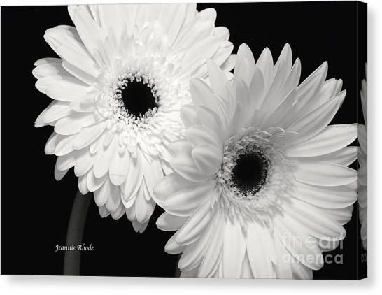 Gerbera Daisy Sisters Canvas Print