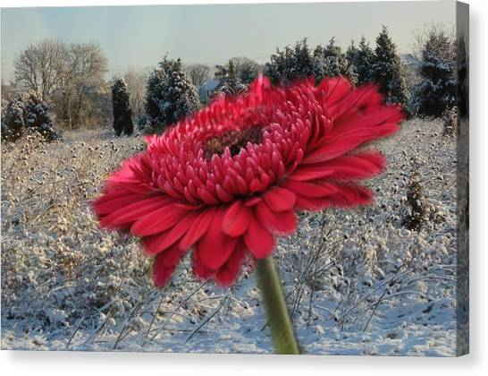 Gerbera Daisy In The Snow Canvas Print