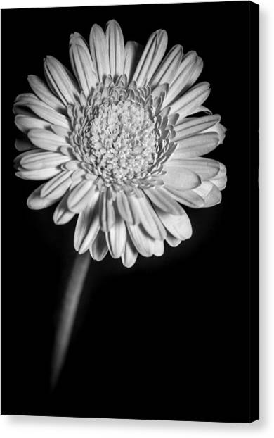 Gerbera In Black And White Canvas Print