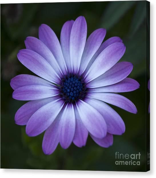 Gerbera In Purple Canvas Print