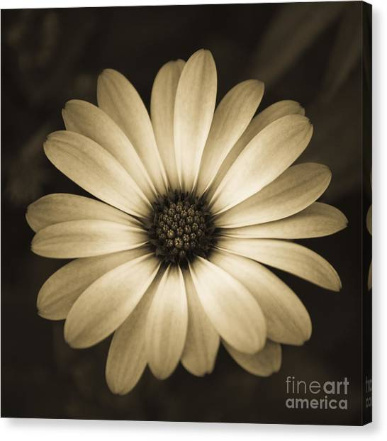 Canvas Print featuring the photograph Gerbera In Sepia by Susan Parish