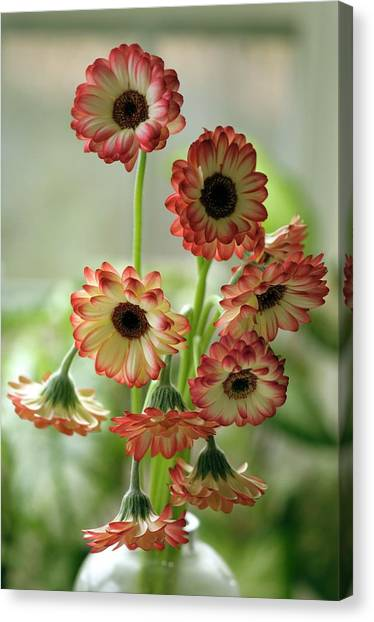 Vase Of Flowers Canvas Print - Gerbera Jamesonii In Vase by Maria Mosolova/science Photo Library