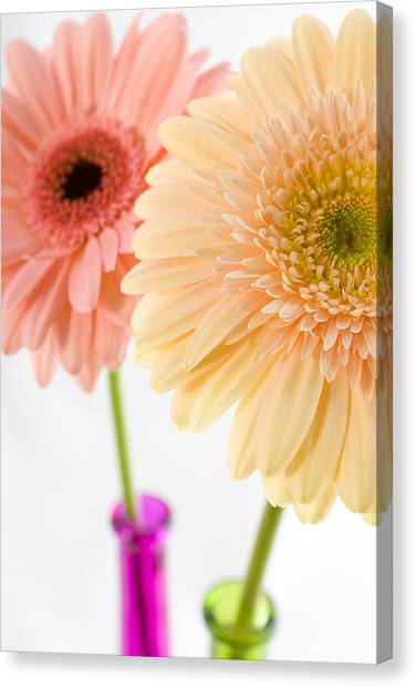 Peach And Pink Gerbera Canvas Print