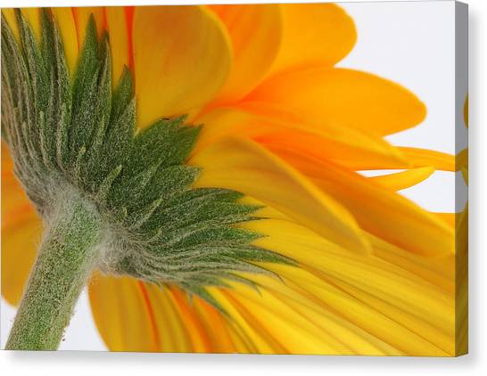 Gerbera Canvas Print by Shirley Mitchell