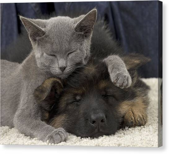 Chartreuxes Canvas Print - German Shepherd And Chartreux Kitten by Jean-Michel Labat