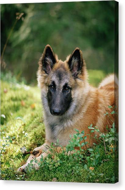German Shepherds Canvas Print - German Shepherd Dog by Bjorn Svensson/science Photo Library