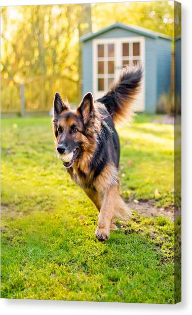 Canvas Print - German Shepherd Running With Ball In Mouth by Fizzy Image