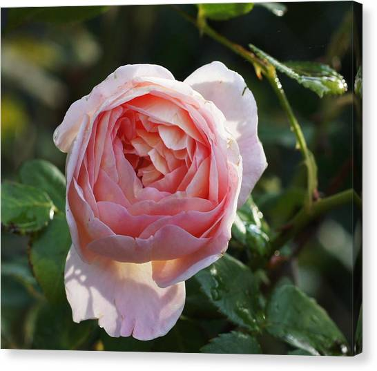 Gertrude Jeykell Old World Rose Canvas Print by Rosemarie E Seppala