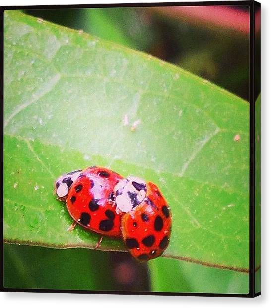 Ladybugs Canvas Print - Get A Room...lovers On The Jasmine In by Mary Anne Payne