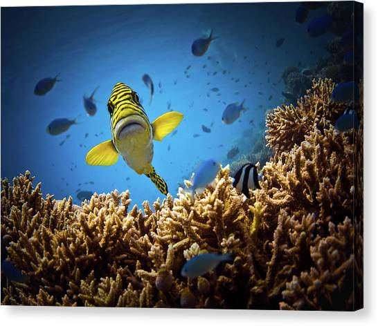 Coral Reefs Canvas Print - Get Out Of My Territory!!! by Luckyguy