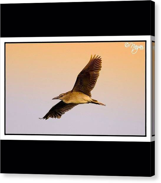 Herons Canvas Print - Getting Up And Flying  It's Not by Nayan Hazra