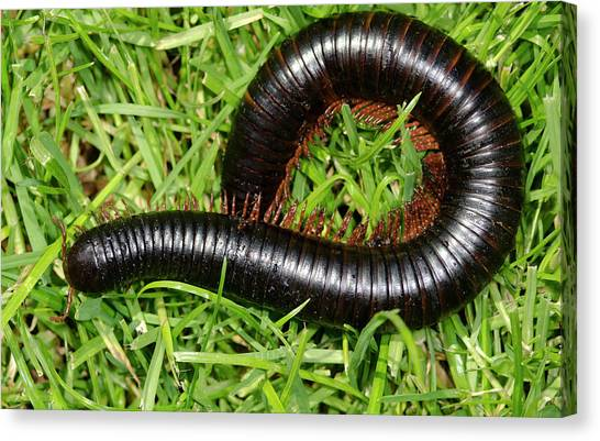 Millipedes Canvas Print - Giant African Millipede by Nigel Downer