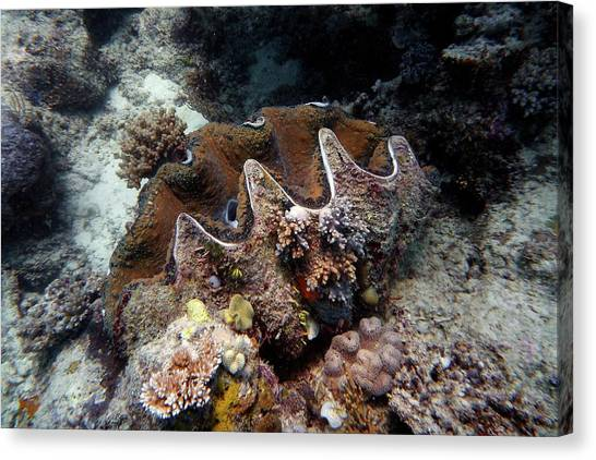 Clams Canvas Print - Giant Clam by Martin Rietze