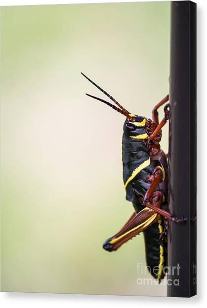 Grasshoppers Canvas Print - Giant Eastern Lubber Grasshopper by Edward Fielding