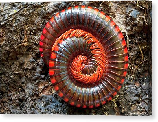 Millipedes Canvas Print - Giant Fire Millipede by Alex Hyde