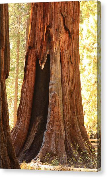 Giant Forest Sequoia Tree Canvas Print