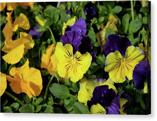 Giant Garden Pansies Canvas Print