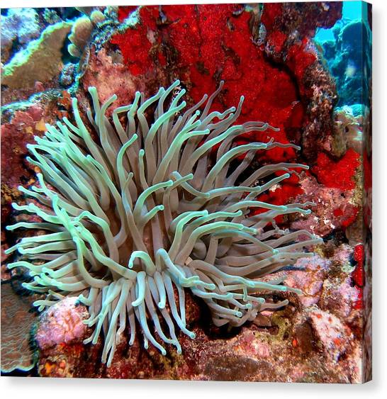 Giant Green Sea Anemone Against Red Coral Canvas Print
