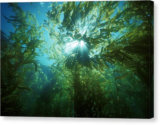 Kelp Forest Canvas Print - Giant Kelp Forest by Jeff Rotman