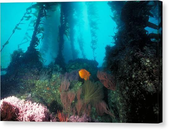 Kelp Forest Canvas Print - Giant Kelp Forest Underwater by Greg Ochocki
