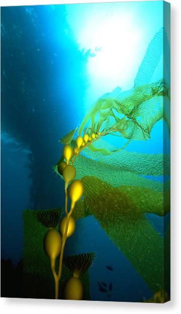 Kelp Forest Canvas Print - Giant Kelp by Greg Ochocki