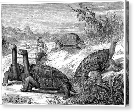 Tortoises Canvas Print - Giant Land Tortoises by Universal History Archive/uig