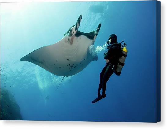 Giant Manta Ray With A Scuba Diver Canvas Print by Gerard Soury