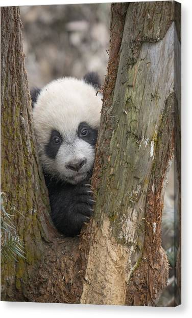 Canvas Print featuring the photograph Giant Panda Cub Bifengxia Panda Base by Katherine Feng