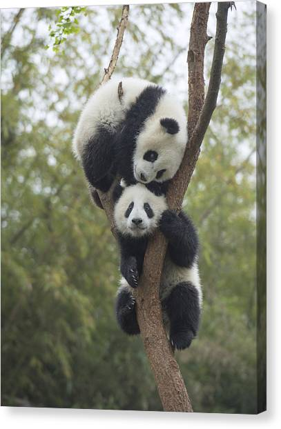 Animal Behaviour Canvas Print - Giant Panda Cubs Playing Chengdu by Katherine Feng