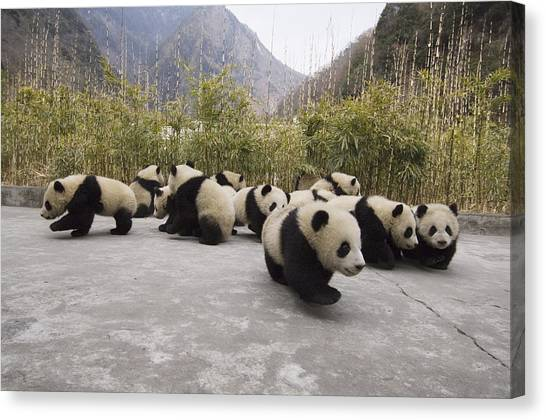 Animal Behaviour Canvas Print - Giant Panda Cubs Wolong China by Katherine Feng